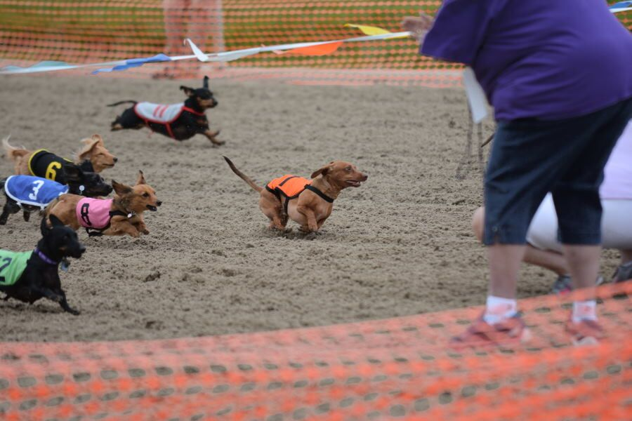 Miniature dachshunds run down the track to reach their owners at the finish line. The annual Wiener Dog Racing took place Mar. 4 at the Fairgrounds Race Course & Slots.