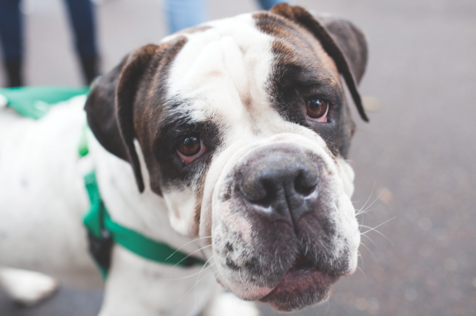 Bulldog Hannah was adopted by a Tulane student through the New Orleans' Bulldog Rescue's event on the LBC quad.