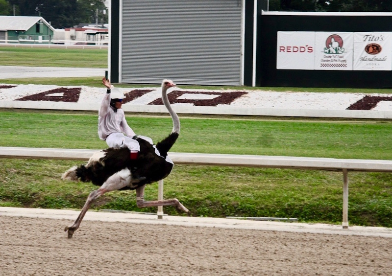 A+professional+jockey+races+an+ostrich+across+the+Fair+Grounds+Race+Course+%26+Slots.
